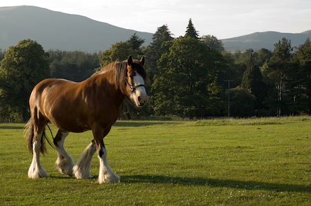 Covell Clydesdale Ranch