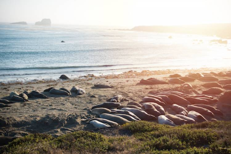 Elephant Seal Rookery